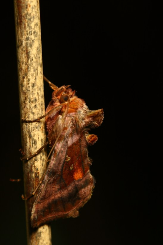 Plain golden Y, le Lota ,Autographa jota
