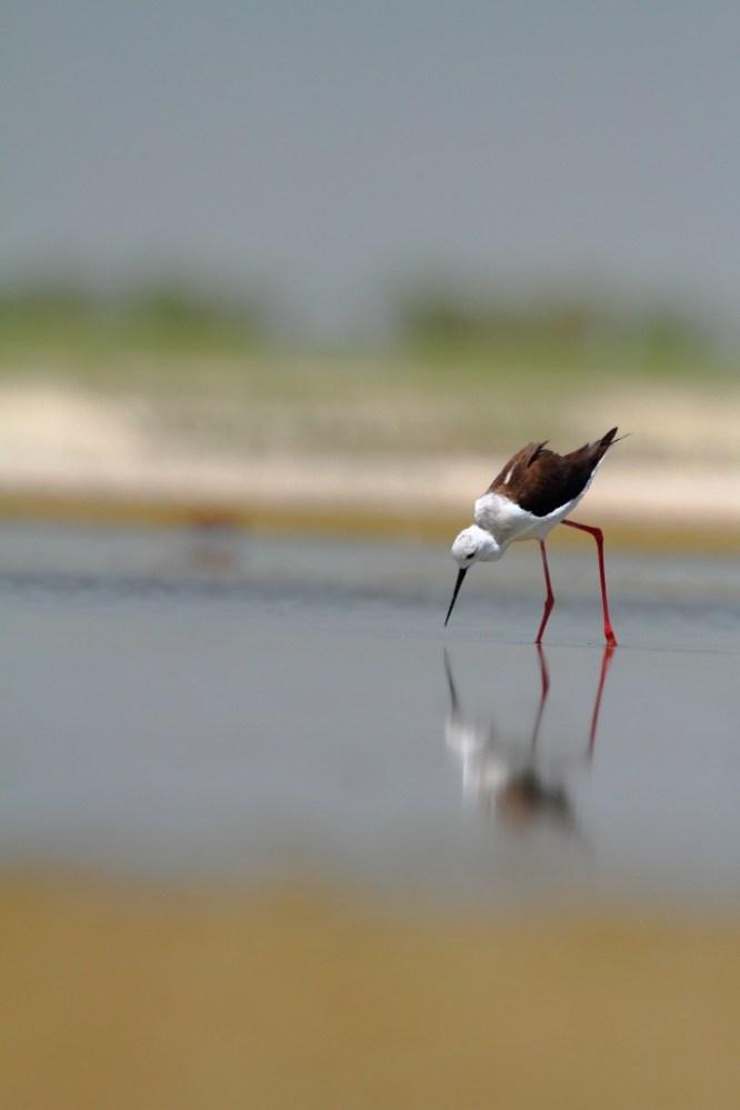 Black-winged stilt, Echasse blanche, Himantopus himantopus