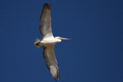 Great white pelican, Pélican blanc, Pelecanus onocrotalus