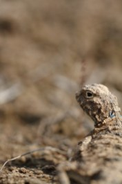 Sunwatcher toadhead agama, Agame à tête de crapaud,Phrynocephalus helioscopus