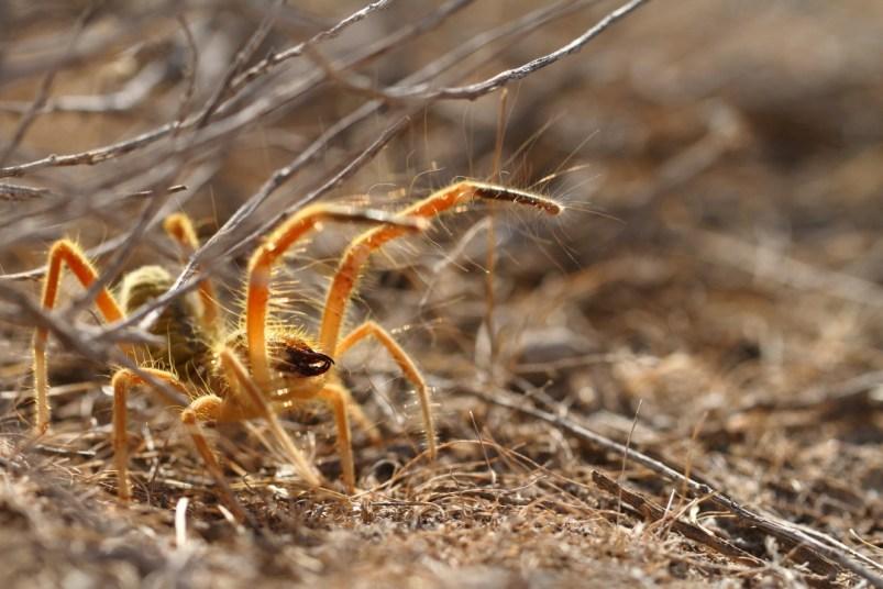 Camel spider, Solifuge, Solifugae