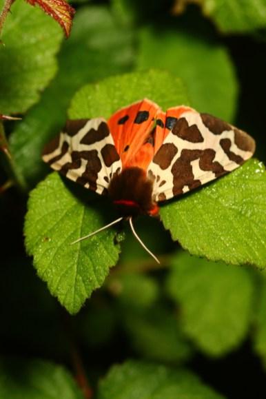 Garden tiger moth, Ecaille martre, Arctia caja