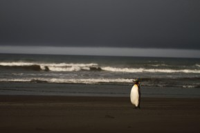King penguin, Manchot royal, Aptenodytes patagonicus