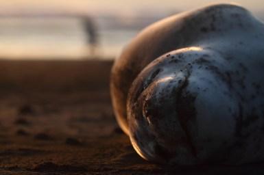 Leopard seal, Léopard de mer, Hydrurga leptonyx