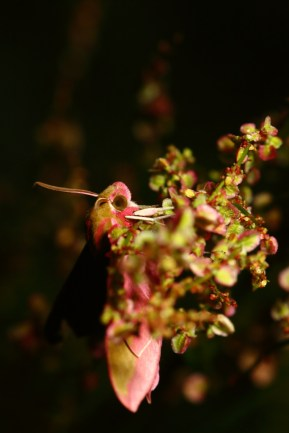 Elephant hawk-moth,Grand sphinx de la vigne, Deilephila elpenor