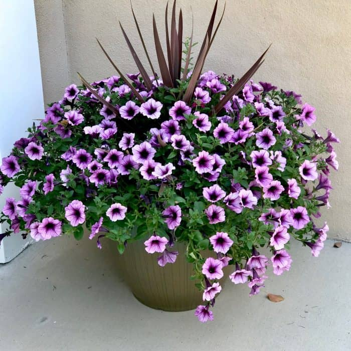 Petunias in large pot from Home Depot