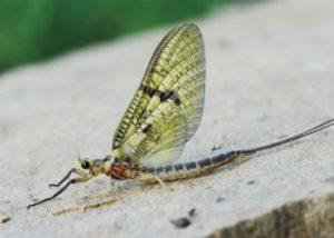 Photo of Green Drake Mayfly