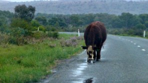 We discovered a new outback wildlife hazard today... when it rains the cattle come out of the bush to drink from the puddles.