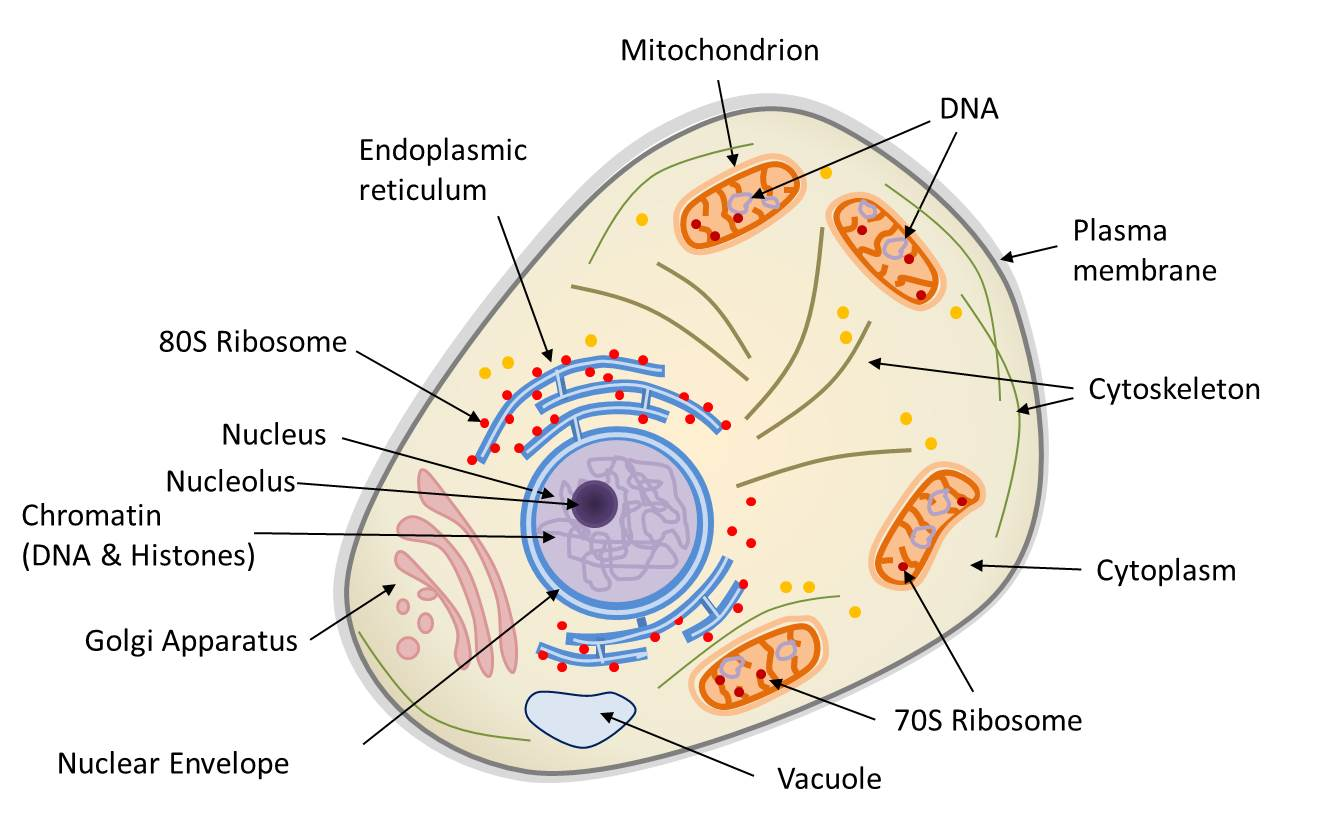 Difference Between Prokaryotic And Eukaryotic Cell