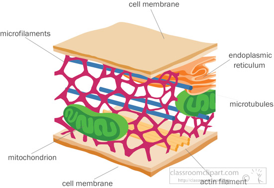 Image of: Intermediate Filaments Cytoskeletoncellmembraneclipartjpg Biology Libretexts Science Clipart Cytoskeletoncellmembraneclipart Classroom Clipart