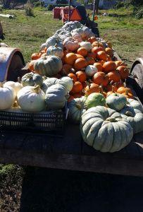 pumpkin patch astoria