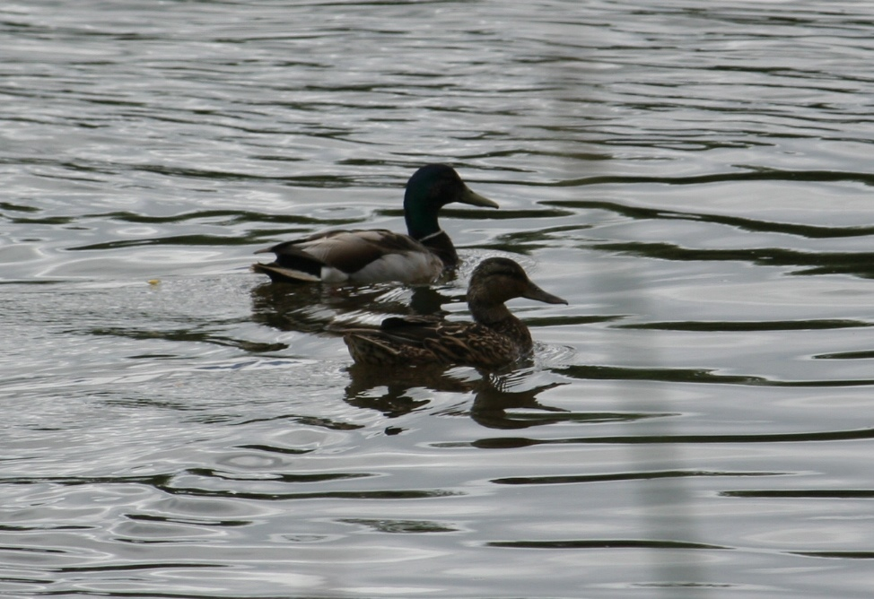 Lewis And Clark National Park Bird Count Mallards