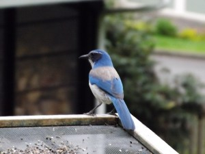 Birdwatching for Beginners scrub jay