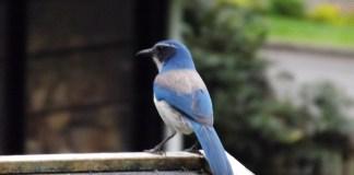 Birdwatching for Beginners scrub jay