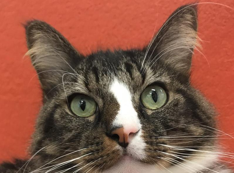 Clatsop County Animal Shelter Pet of the week woody