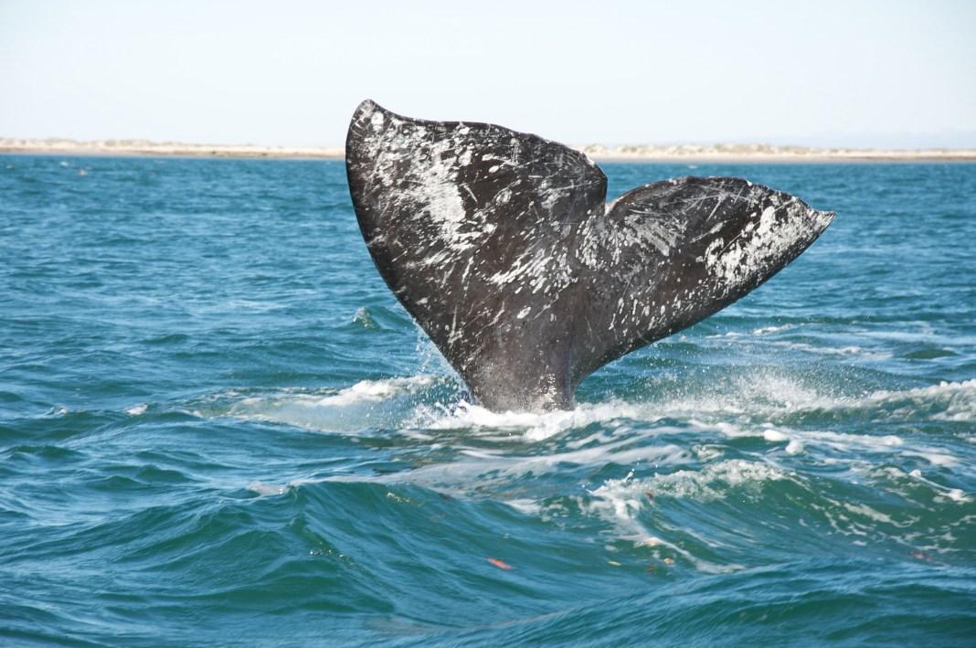 Whale Watching Oregon Coast Gray Whale Sam Beebe