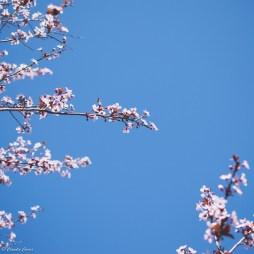 March florals. Dallas Arboretum