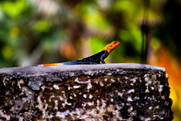 Photo of the Day: Agama Agama