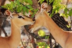 Impalas trocando cáricias