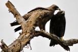 Namoro entre Tawny Eagles