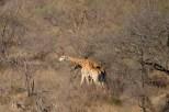 Girafas em disputa, batendo os pescoços