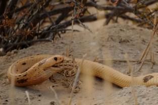 Vida de cobra não é fácil