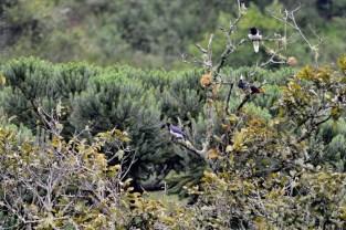 gralhas-do-campo e tucanode-bico-verde