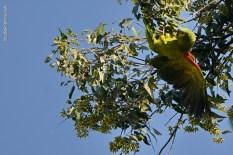 Ibirapuera-birdwatching-abr16_11