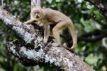 macaco-prego-galego_107