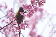 cerejeiras_11