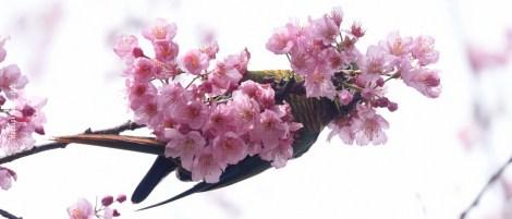 cerejeiras_13