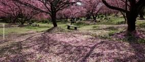 cerejeiras_20