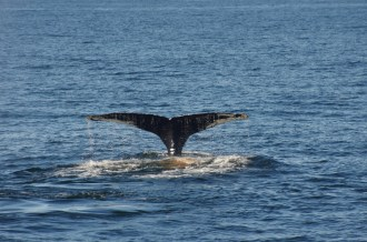 Whale Massachusetts