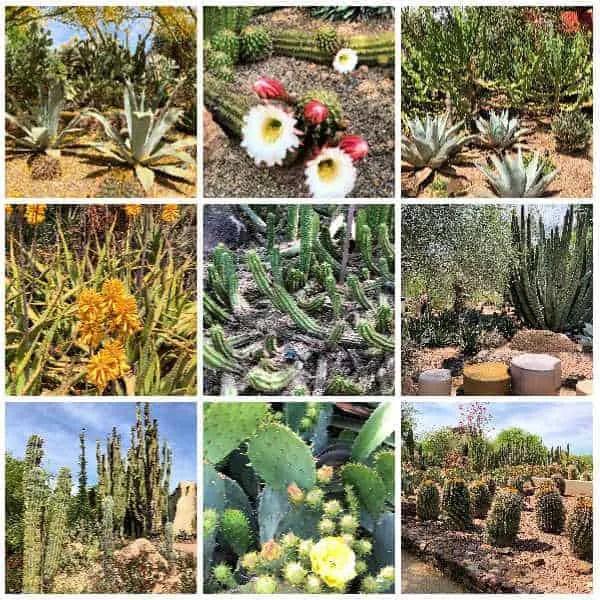 various cacti plants in bloom in tempe
