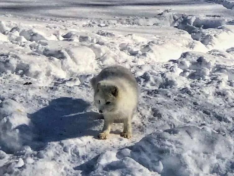 arctic fox at parc omega quebec in winter