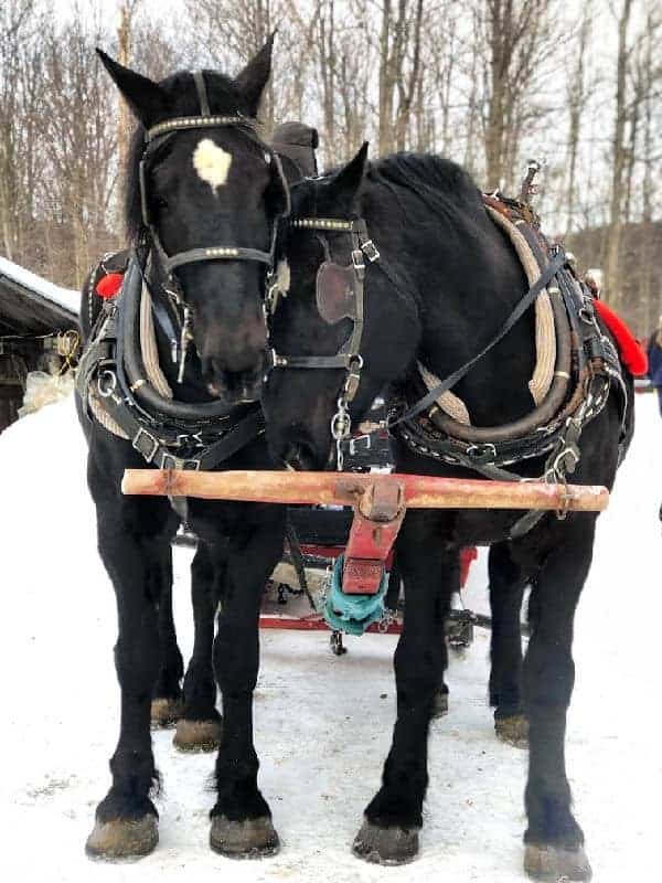two horses pulling sleigh in quebec in winter