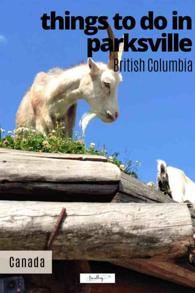 goats on a roof in coombs near parksville