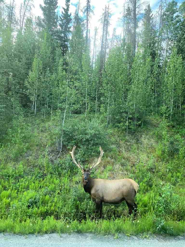 prince of the forest elk in jasper