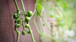 Cherry Tomatoes in my garden