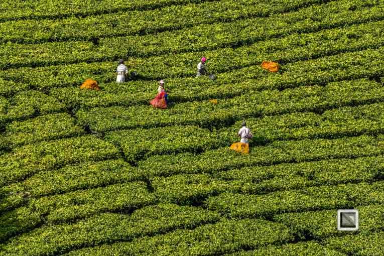 India - Kerala - Munnar-7