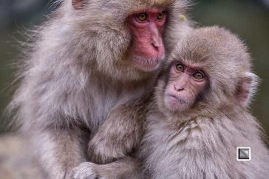 japan-jigokudani-snow_monkeys-132