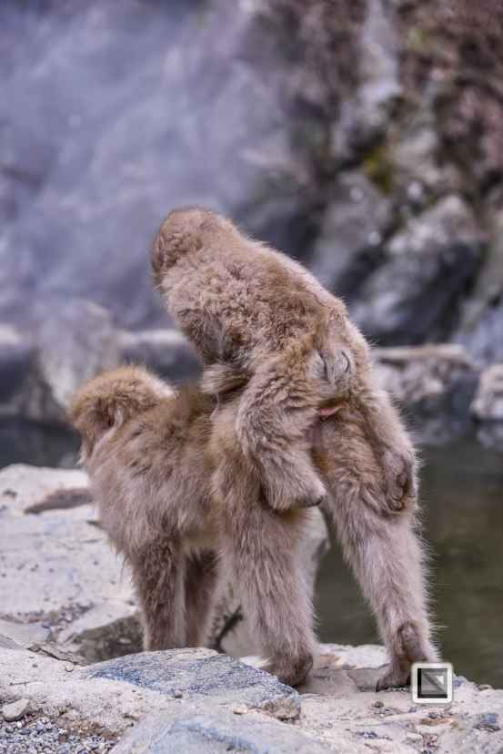 japan-jigokudani-snow_monkeys-140