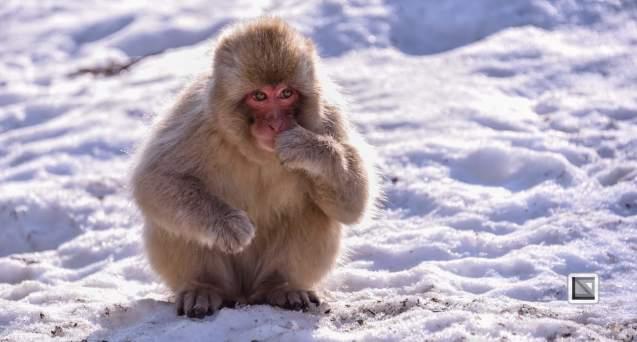 japan-jigokudani-snow_monkeys-3