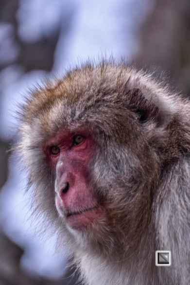 japan-jigokudani-snow_monkeys-76
