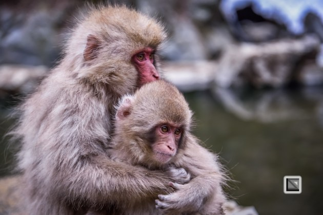 japan-jigokudani-snow_monkeys-136