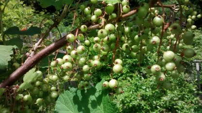 Young red currants...
