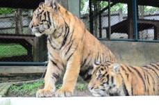 Tigres médios