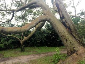 Magestosa árvore encontradas nas Trilhas - Photo by Claudia Grunow