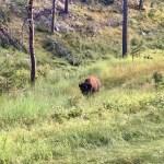 bison custer state park centennial trail clay bonnyman evans