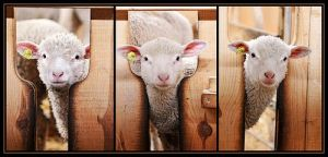 sheep_fence_3404566274_6e169f7f23